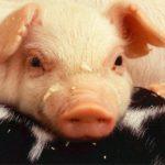 198chicken-pig-monkey
